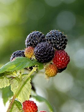 black raspberry plant stem