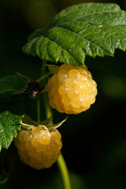 gold raspberries