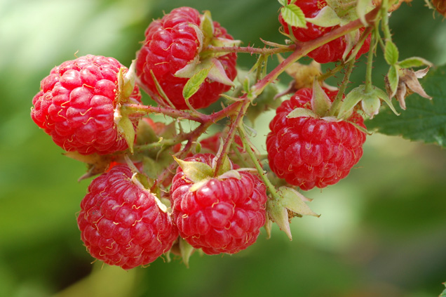 Raspberries - Growing Raspberries - Raspberry Varieties